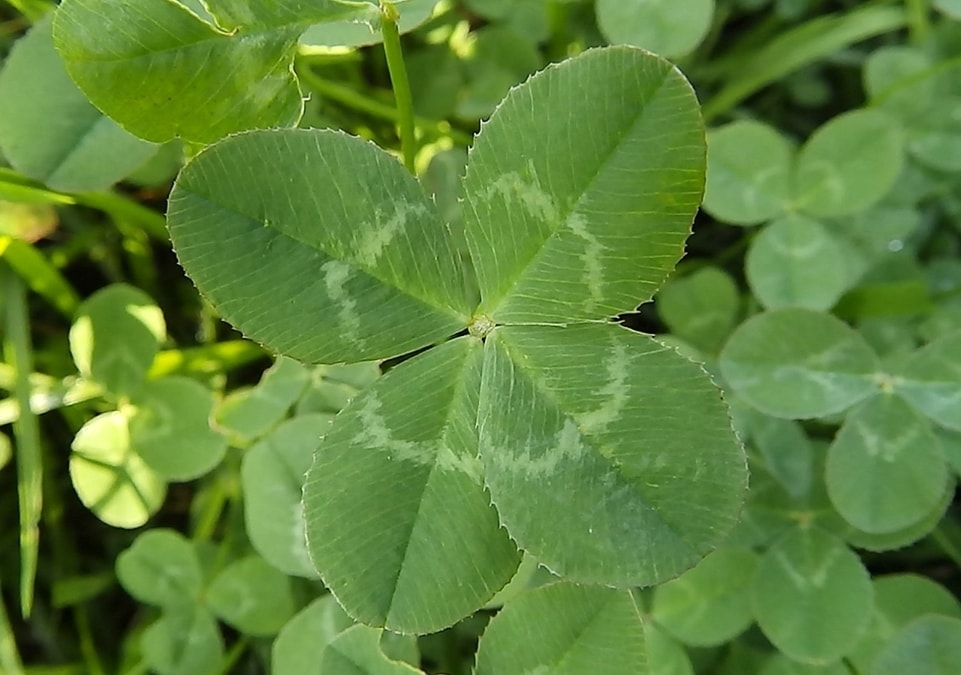 femllitera-trebol de 4 hojas